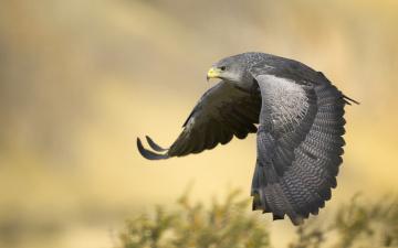 обоя животные, птицы - хищники, крылья, полёт, хищник, птица, летит, сокол