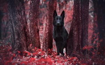 обоя животные, собаки, лес, взгляд, собака