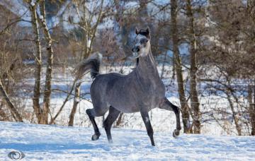 обоя автор,  oliverseitz, животные, лошади, конь, серый, бег, движение, позирует, грация, красота, мощь, зима, снег, загон