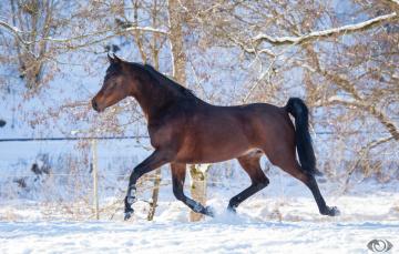 обоя автор,  oliverseitz, животные, лошади, конь, гнедой, рысь, бег, движение, мощь, сила, грация, зима, снег, загон