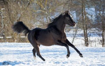 обоя автор,  oliverseitz, животные, лошади, конь, вороной, бег, движение, грация, мощь, красавец, взгляд, позирует, зима, снег, загон