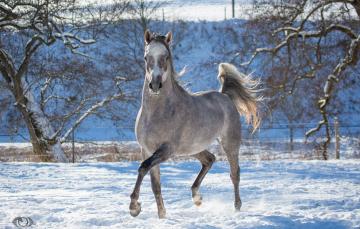обоя автор,  oliverseitz, животные, лошади, конь, серый, бег, движение, грация, загон, зима, снег