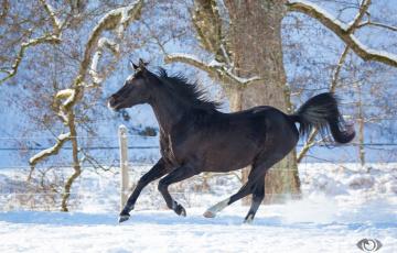 обоя автор,  oliverseitz, животные, лошади, конь, вороной, профиль, бег, галоп, движение, мощь, грация, красота, игривый, зима, снег, загон