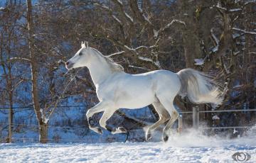 обоя автор,  oliverseitz, животные, лошади, конь, белый, галоп, бег, движение, грация, мощь, зима, снег, загон