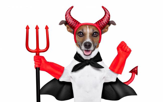 Обои картинки фото юмор и приколы, накидка, наряд, красные, перчатки, рога, юмор, хвост, джек-рассел-терьер, трезубец, дьявол, белый, фон