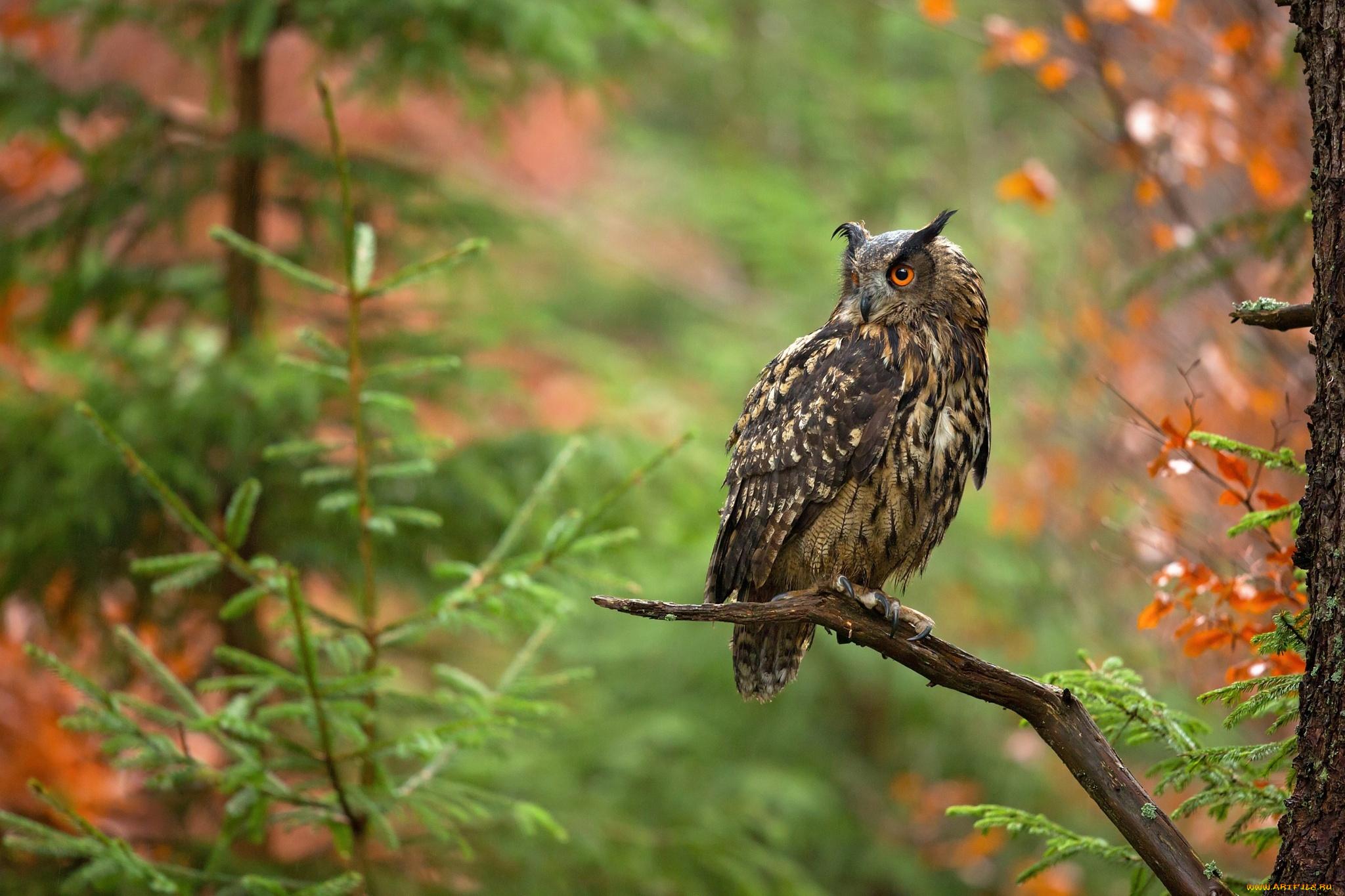 природа животные сова птицы осень листья скачать