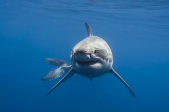 обоя животные, акулы, акула