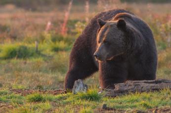 обоя животные, медведи, топтыгин, зверь, медведь