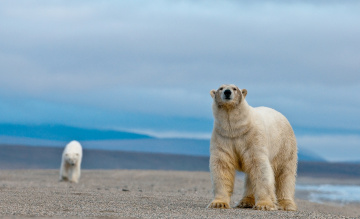 обоя животные, медведи, остров, врангеля, полярные, белые