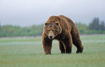 обоя животные, медведи, медведь, бурый, трава, лужайка