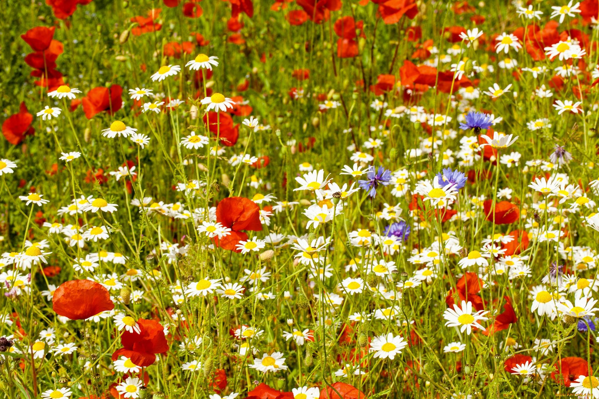 Картинки полевые и луговые цветы ромашки