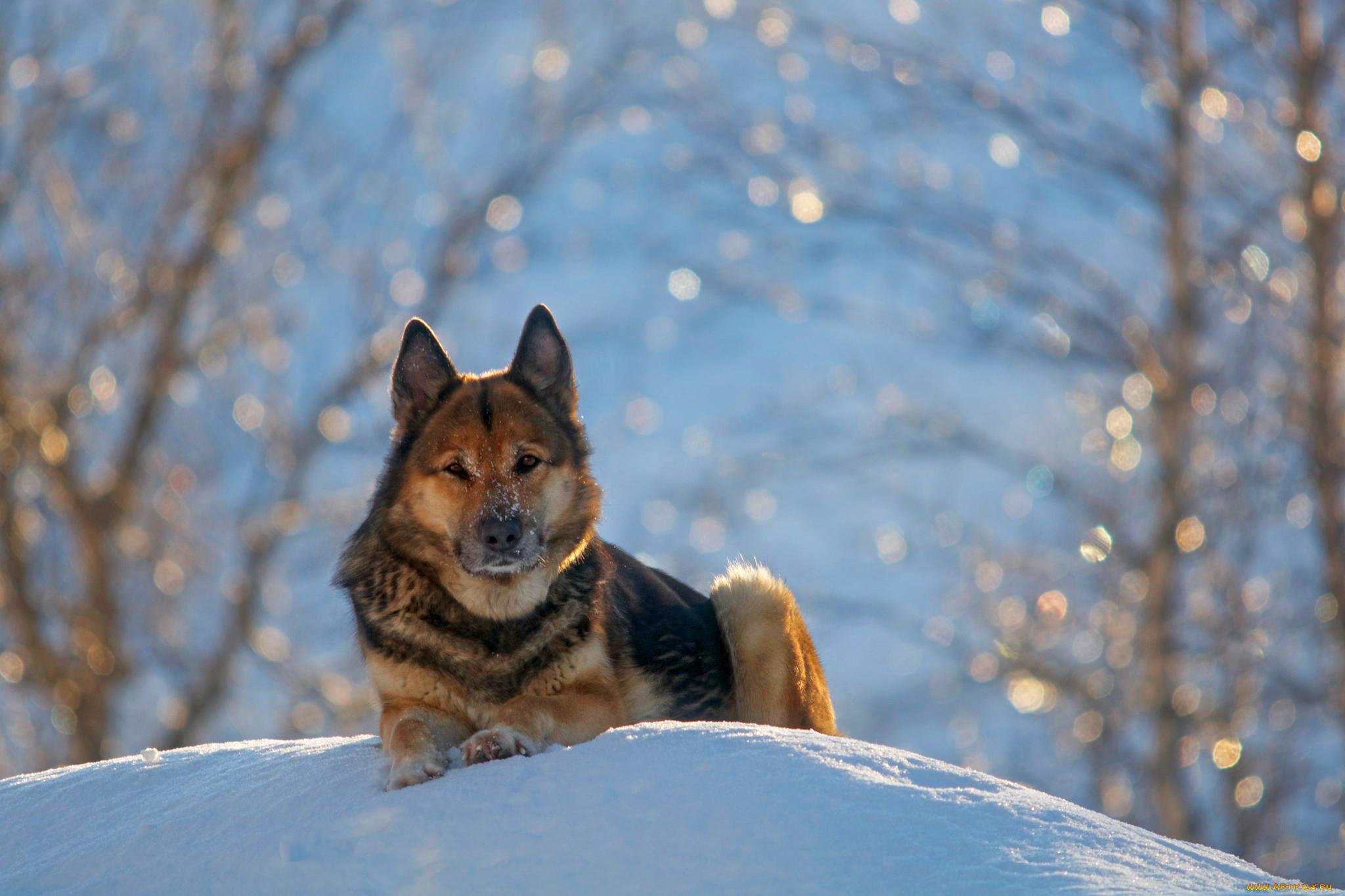 природа животные собака немецка овчарка nature animals dog the German shepherd  № 1004480 загрузить