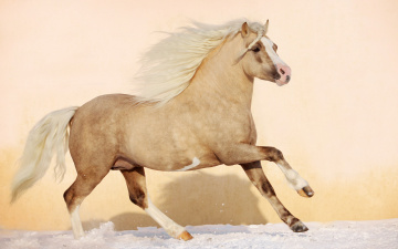 Картинка животные лошади зима снег природа красивые жеребёнок грива жеребенок жеребец конь лошадь