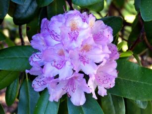 обоя цветы, рододендроны , азалии, соцветие
