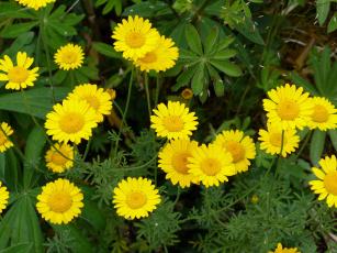 обоя цветы, ромашки, желтый