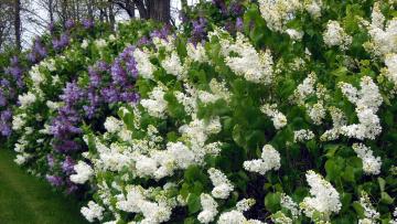 обоя цветы, сирень, белый, лиловый, цветение, весна, кусты