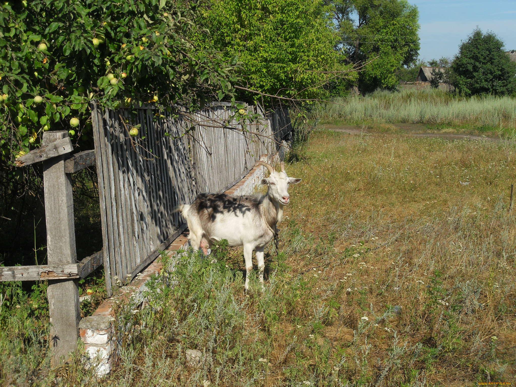 природа животные козы трава забор бесплатно