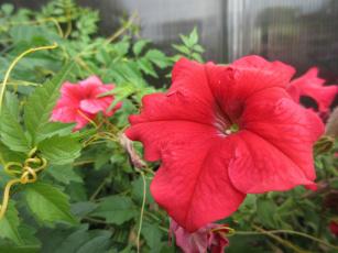 обоя цветы, петунии,  калибрахоа, петуния