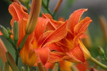 Картинка цветы лилии +лилейники лилейники лето июль дождь
