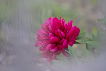 обоя цветы, пионы, пион