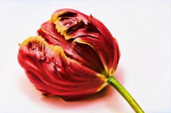 обоя цветы, тюльпаны, тюльпан