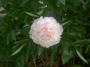 Картинка цветы пионы бутон