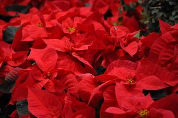 обоя цветы, пуансеттия, красная, листья, цветение