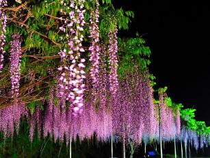 Картинка цветы глициния