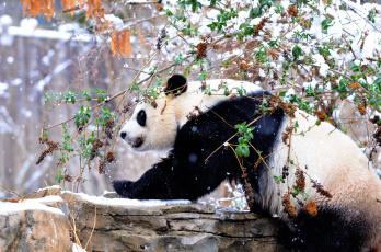 Картинка животные панды зима снег
