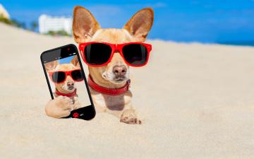Картинка юмор+и+приколы смартфон песок пляж очки юмор фото снимок Чихуахуа