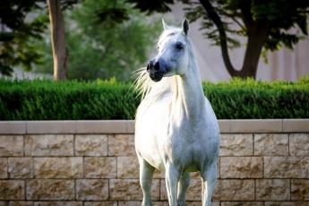 обоя животные, лошади, белый, красавец, поза, гордый, конь