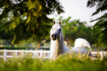 обоя животные, лошади, грива, морда, трава, свет, позирует, серый, арабский, конь