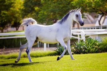 обоя животные, лошади, хвост, грива, бег, серый, красавец, солнце, лето, свет, конь, загон, трава
