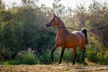 обоя животные, лошади, позирует, движение, гнедой, арабский, жеребец, конь