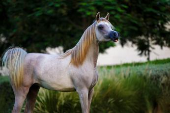 обоя животные, лошади, серый, арабский, жеребец, конь, грива, хвост, позирует