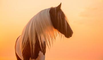 обоя животные, лошади, профиль, закат, свет, солнце, позирует, морда, грива, красавец, пегий, окрас, конь
