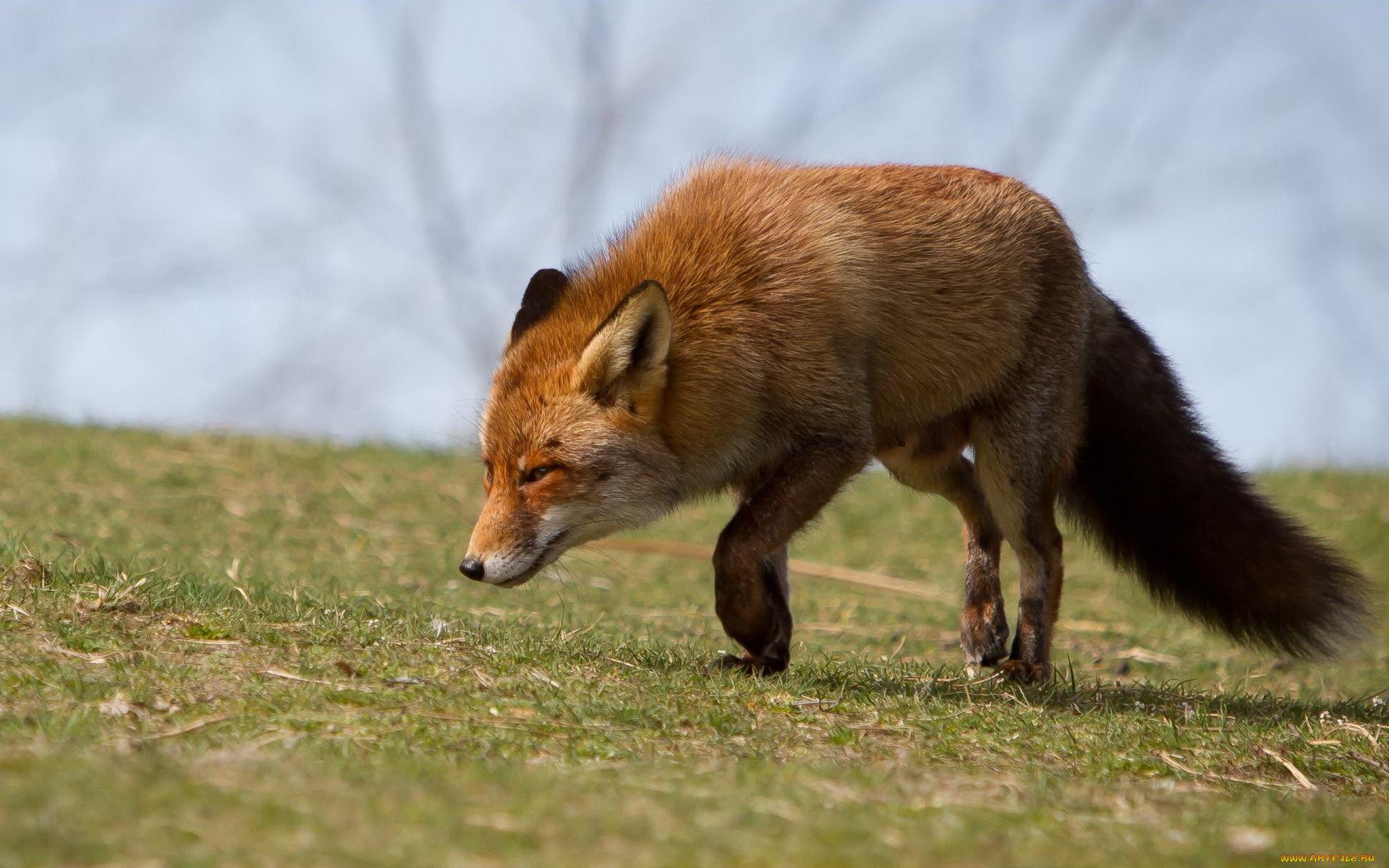 насторожившаяся лисица загрузить