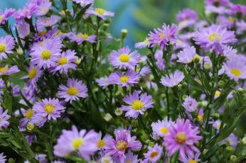 обоя цветы, астры, сиреневые, бутончики, много