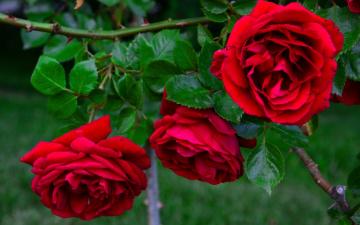 Картинка цветы розы бутоны розовый куст