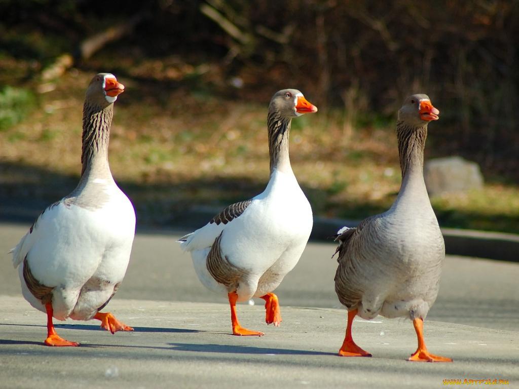 Картинки смешных гусей