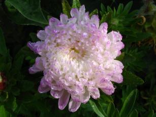 Картинка автор danaka цветы хризантемы лепестки капли