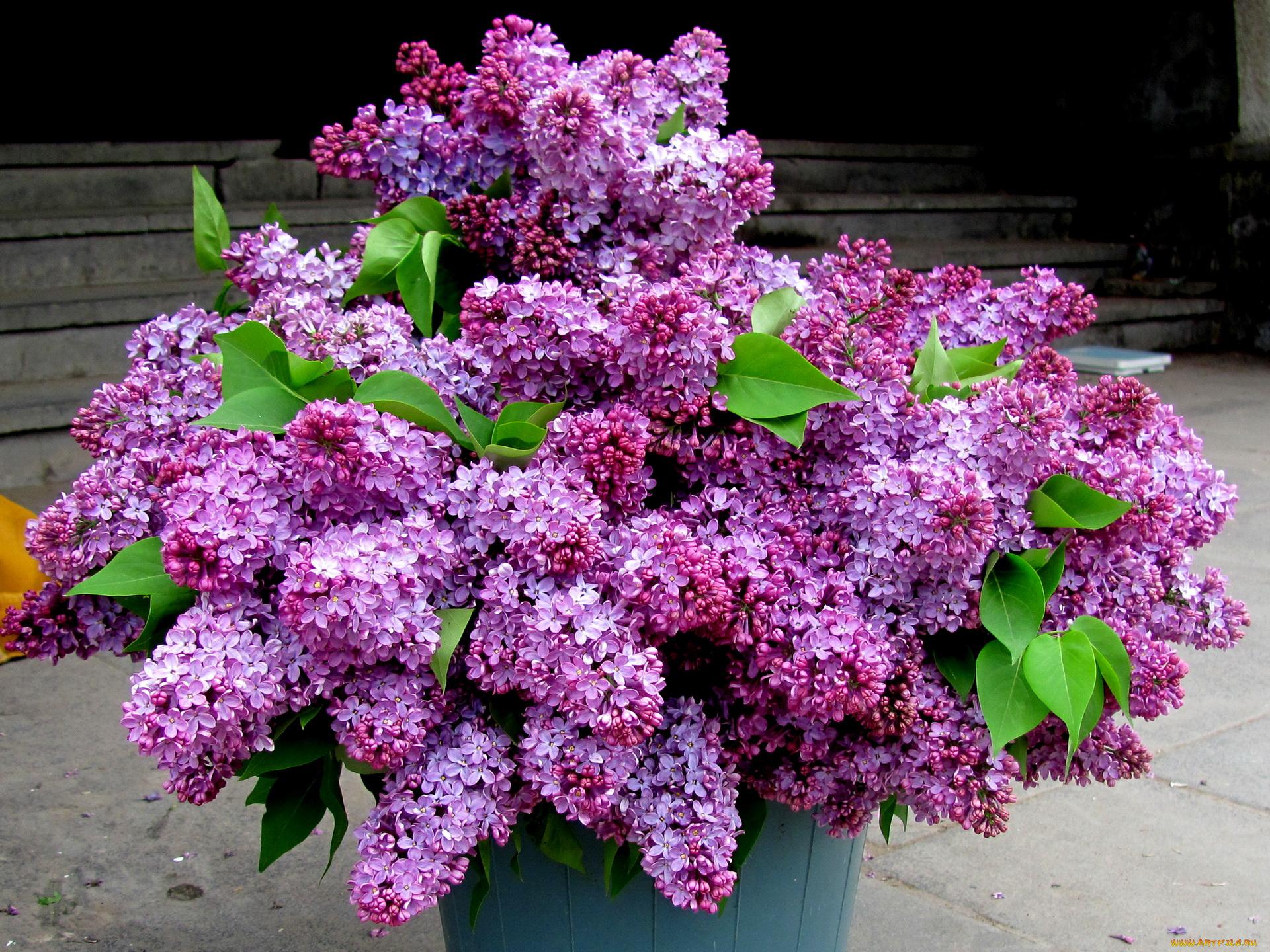 Цветы сирень картинки, найти красивые