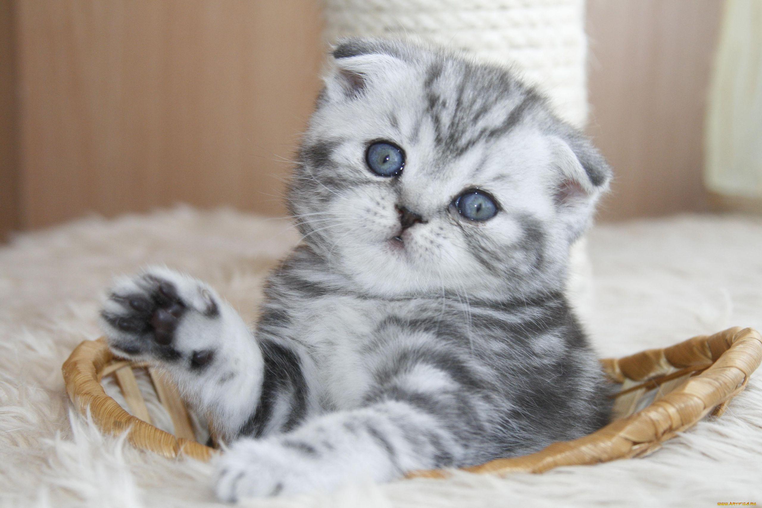 Обувью, картинки с котятами вислоухими