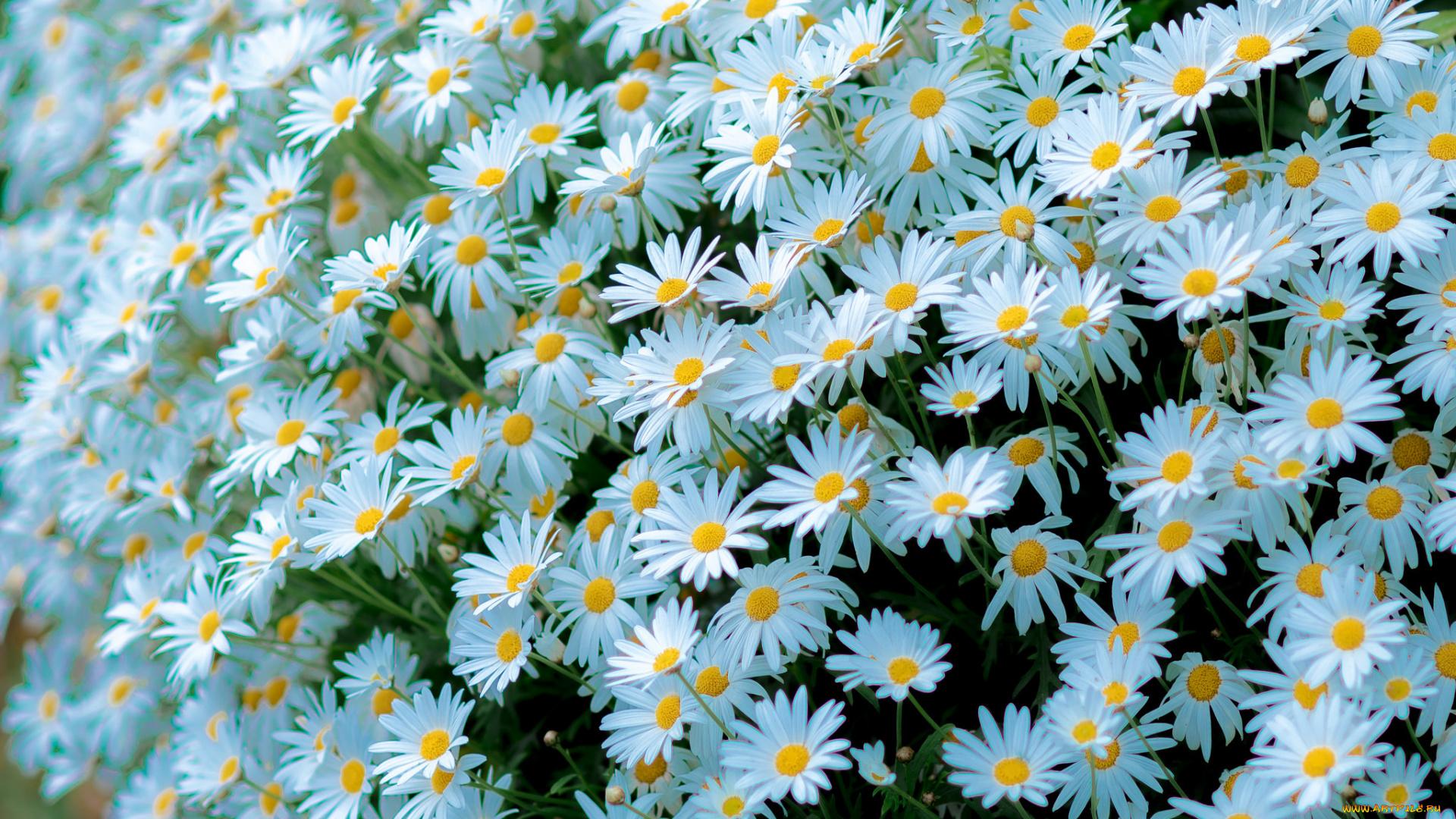 Музыкальная открытка, картинки цветы ромашки красивые