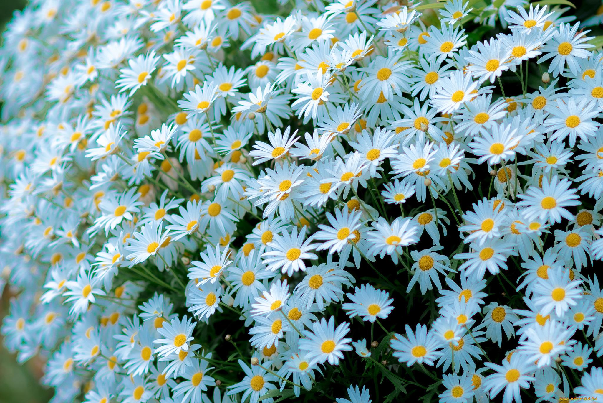 цветы белые ромашки загрузить