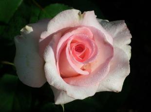 обоя цветы, розы, капли, макро, бутон