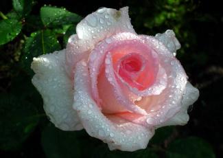 обоя цветы, розы, капли, розовый