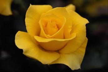 обоя цветы, розы, желтая, роза