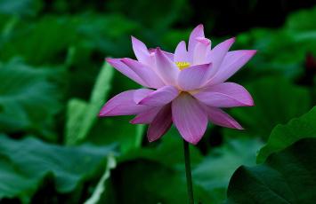 Картинка цветы лотосы лепестки фон