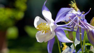 обоя цветы, аквилегия , водосбор